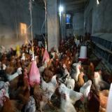 مرکز فروش مرغ بومی و گوشتی - طیور - طیور