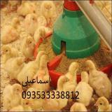 فروش جوجه یکروزه (بوقلمون) مرغ تخم گذار بومی نیمچه تخم گذار