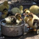 قیمت جوجه اردک یک روزه - فروش جوجه اردک - طیور -