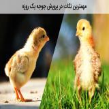 فروش جوجه یک روزه - نیمچه و مرغ تخمگذار - طیور