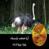 فروش جوجه شتر مرغ مولد تا پرواري