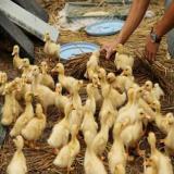 قیمت جوجه اردک یک روزه _ فروش جوجه اردک یک روزه - طیور