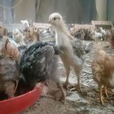 جوجه مرغ محلی اصلاح نژاد شده - طیور