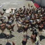 نیمچه مرغ بومی تا 3 ماهه - طیور