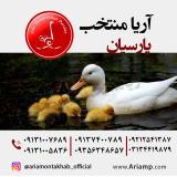اردک گوشتی(سفید پکنی)