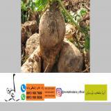 فروش انواع بذر چغندر قند در ایران