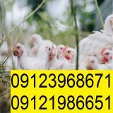 فروش مرغ تخمگذار پولت سفید ال اس ال