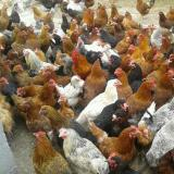 فروش نیمچه مرغ بومی و محلی - طیور