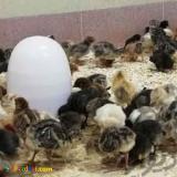 فروش مرغ تخمگذار یکروزه و یکماهه