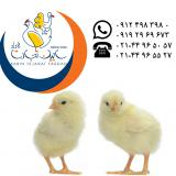 فروش جوجه یکروزه مرغ گوشتی شرکت سابین تجارت