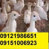 فروش بوقلمون بیوتی یک روزه و یک ماهه09121986651
