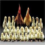 فروش ویژه جوجه یک روزه تخم گذار اصلاح نژاد شده - طیور