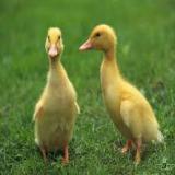 فروش جوجه اردک