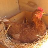 خرید و فروش مرغ تخمگذار بومی با درصد تخمگذاری بالا