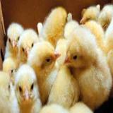 فروش جوجه مرغ محلی گوشتی ، تخمگذار و نیمچه