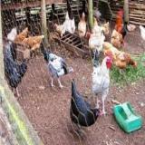 خریدار مرغ محلی - طیور