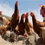 فروش مرغ بومی 2 ماهه گلپایگان دورگه - طیور