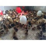 فروش عمده جوجه یک روزه گلپایگانی ، مرغ تخمگذار - طیور