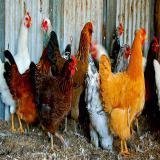 فروش مرغ بومی تخمگذار رویان طیور