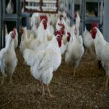 فروش جوجه گوشتی 1 روزه ، فروش جوجه مرغ گوشتی - طیور