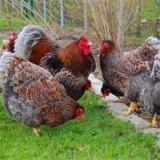 فروش جوجه مرغ بومی اصلاح نژاد شده