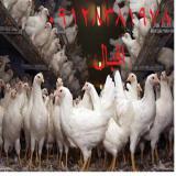 فروش مرغ حذفی چربی دار هلندی