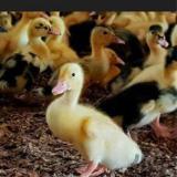 فروش جوجه اردک , خرید جوجه اردک , قیمت جوجه اردک