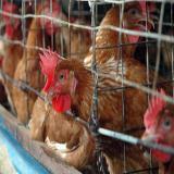 فروش مرغ محلی آماده تخم گذاری - استان تهران