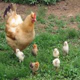 فروش مرغ و خروس  اصلاح نژاد شده