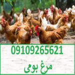 مرغ بومی | پولت تخم گذار | فروش مرغ بومی | بلدرچین 09109265621