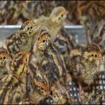 خرید و فروش بلدرچین تخم گذار گوشتی و جوجه یک روزه - طیور