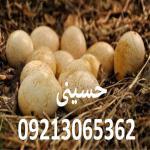 فروش تخم نطفه دار بوقلمون برنز امریکایی