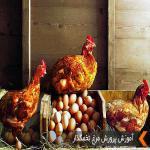 فروش مرغ تخم گذار محلی چهار ماهه گلپایگانی - طیور