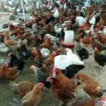 قیمت مرغ پولت تخم گذار - طیور