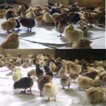 فروش جوجه یک روزه بومی و نیمچه بومی تخم گذار - طیور