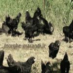 فروش مرغ تخمگذار مرندی