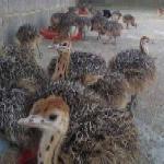 فروش جوجه شترمرغ در سنین مختلف - طیور