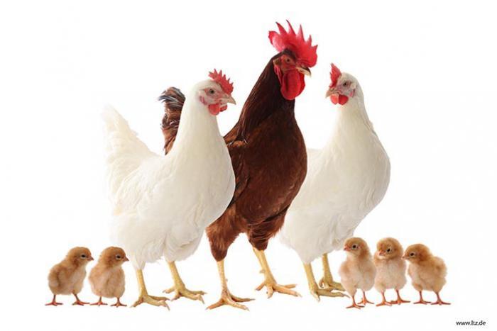 فروش مرغ تخم گذار پولت صنعتی