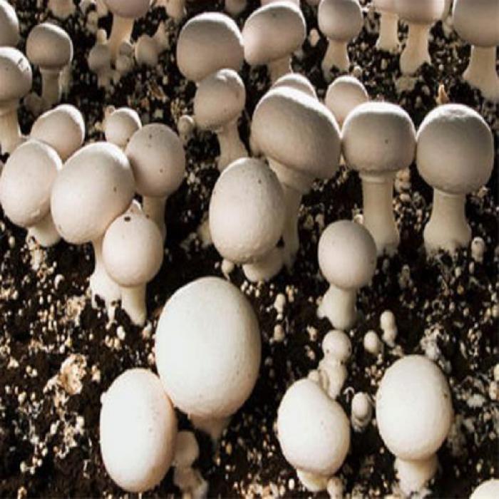 فروش بذر قارچ دکمه ای اف یک و بذر قارچ دکمه ای اف