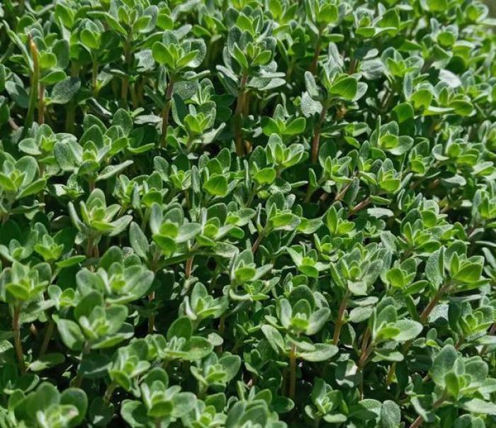 گیاهان دارویی کوهی - معرفی انواع گیاهان کوهی - گیاهان کوهی دماوند