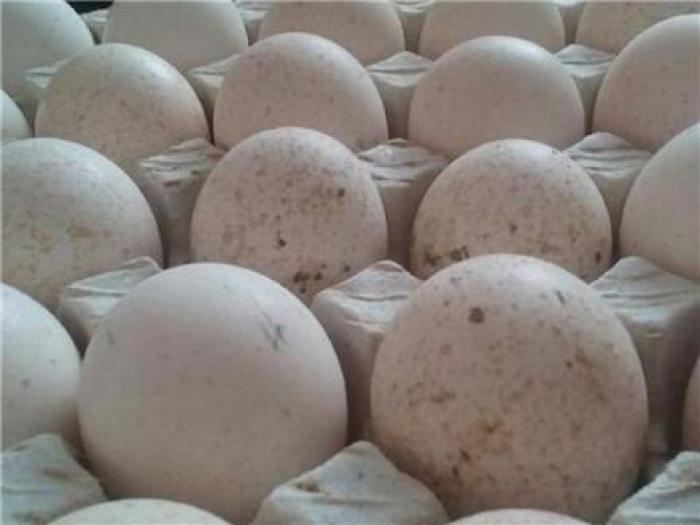 فروش تخم نطفه دار بوقلمون - طیور
