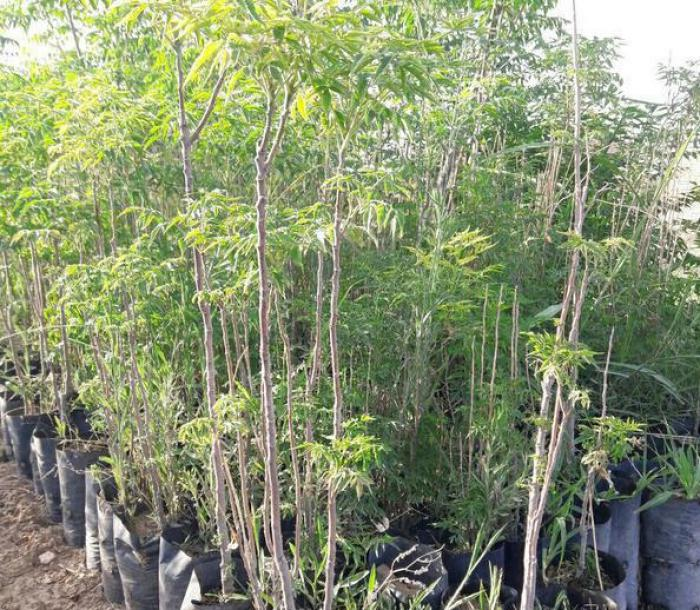 انواع درختان غیر مثمر - فروش عمده نهال غیر مثمر - درخت توت غیر مثمر - نهال غیر مثمر (بصورت عمده )
