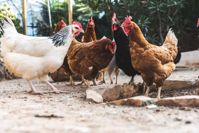 فروش مرغ بومی تخمگذار اصلاح شده